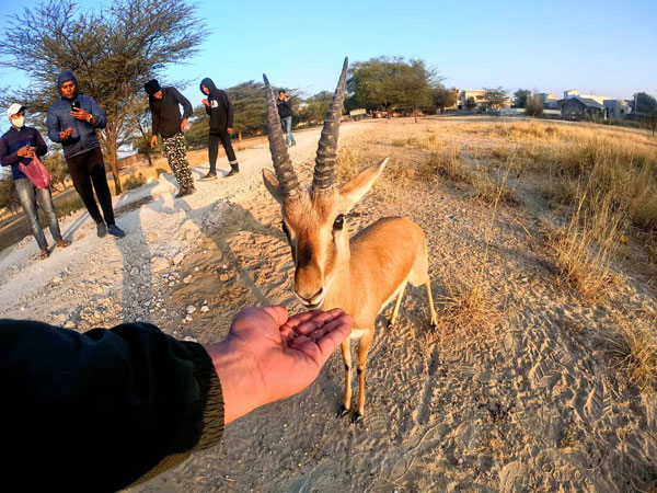 A gazelle at blackbuck sanctuary near Sujangarh