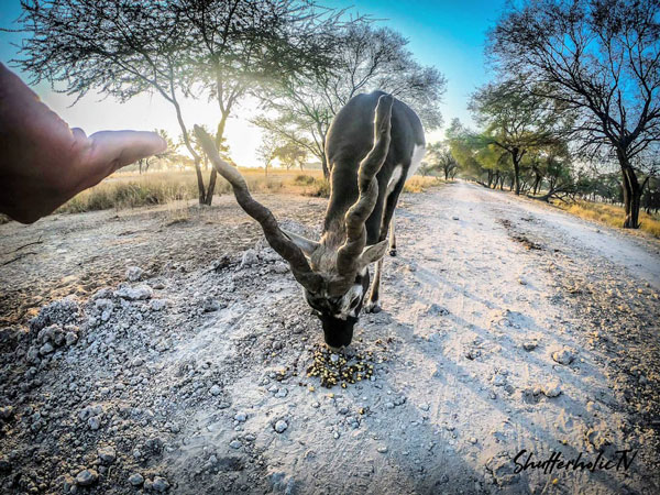 A black up at Tal Chappar wild buck sanctuary in Rajasthan
