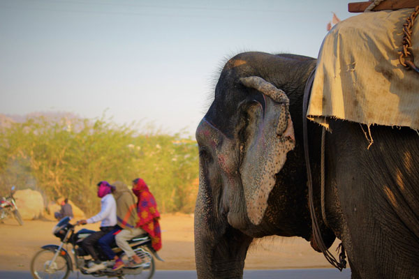 Elephant on the way to amer fort